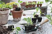 Kohlrabi - Jungpflanzen (Brassica) mit Ballen