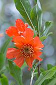 Granatapfel-Blüte (Punica granatum)