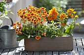 Jardiniere mit Calceolaria (Pantoffelblume), Oxalis (Klee) und Ornithogalum