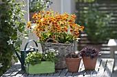 Korb mit Pantoffelblumen bepflanzen