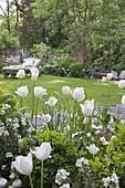 Weiße Tulpen im Frühlingsgarten