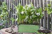 Convallaria majalis (Maiglöckchen) im grünen Holzkasten