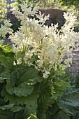 Rhabarber (Rheum rhabarbarum) in voller Blüte