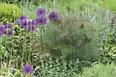 Allium aflatunense 'Purple Sensation' (Purpur-Kugellauch), Bronze-Fenchel