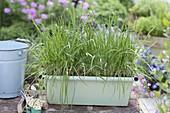 Duft-Lauch, Chinesischer Lauch, Duftbluetenknoblauch (Allium ramosum)