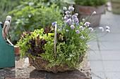 Korb mit Salaten und Kräutern bepflanzt : bunte Salate (Lactuca)