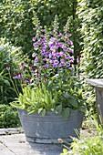 Digitalis 'Purpurea' (Fingerhut) und Primula vialii (Orchideen-Primel)