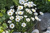 Aster alpinus 'Albus' (Alpenaster)