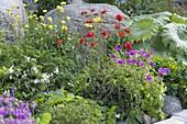 Buntes Fruehsommerbeet : Geranium psilostemon