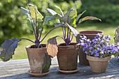 Blauer Kohlrabi (Brassica) und Campanula (Glockenblume)
