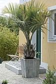 Butia capitata (Gelee-Palme) im Holz-Kübel neben Hauseingang