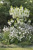 Weisses Fruehsommerbeet : Chionanthus virginicus