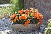 Begonia tuberhybrida 'Nonstop Orange' (Begonien) in rustikaler Schale