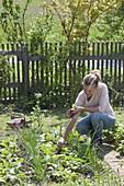 Frau erntet Radieschen (Raphanus) zwischen Zwiebeln (Allium cepa)