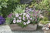 Holzkasten Ton-in-Ton bepflanzt : Petunia Famous 'White Rose Vein'