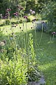 Cirsium rivulare 'Atropurpureum' - Purpur-Kratzdistel