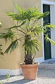 Trachycarpus fortunei (Hanfpalme) im Terracotta -Kübel neben Hauseingang