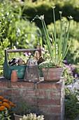 Allium cepa var. viviparum Luft- oder Etagenzwiebel