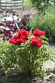 Leuchtend roter Papaver orientale 'Carmen' (Türkischer Mohn)