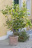 Citrus limon (Zitrone) in Terracotta - Kübel neben Hauseingang
