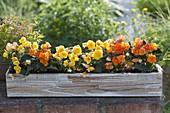Selbstgebauter Holzkasten mit Begonia tuberhybrida Nonstop