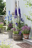 Delphinium elatum 'Merlin' hellblau , 'Opal' tiefviolett (Rittersporn), Salvia