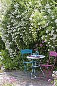 Kleiner Sitzplatz unter Rosa multiflora (Vielblütiger Rose), Bergenia
