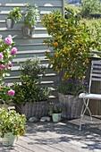 Balkon mit mediterranen Pflanzen : Citrofortunella microcarpa (Calamondine)