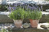 Tontoepfe mit Lavendel (Lavandula) auf Granit-Treppe