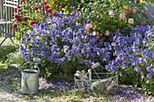 Geranium x magnificum 'Rosemoor' (Pracht-Storchschnabel)