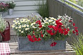 Balkonkasten aus Zink mit Pelargonium Caliente 'Dark Fire'