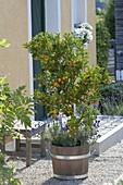 Citrofortunella microcarpa (Calamondine) unterpflanzt mit Lavendel
