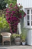 Balkon mit blühender Rosa 'Super Excelsa' (Ramblerrose, Kletterrose)