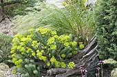 Kiesbeet mit Euphorbia cyparissias (Zypressen-Wolfsmilch) und Stipa