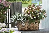 Flechtkorb mit Pflanzen für den Halbschatten : Lobelia erinus