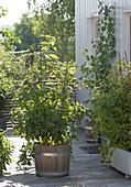 Himbeeren (Rubus) am Spalier in Holz-Kübel und Kasten
