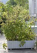Himbeeren in selbstgebauten Kasten pflanzen