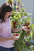 Frau pflückt rote Johannisbeeren (Ribes rubrum)