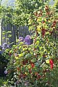 Rote Johannisbeeren (Ribes rubrum) im Garten