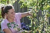 Frau pflückt weisse Johannisbeeren 'weiße Versailler' (Ribes rubrum)