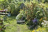 Kleiner Garten mit Helianthus annuus (Sonnenblumen), roten Johannisbeeren