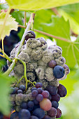 Sunnybank VINE NURSERY, Herefordshire: CLOSE UP of THE Purple GRAPES of VITIS VINIFERA 'Madresfield Court' SHOWING Botrytis Cineria , Grey MOULD OR NOBLE Rot
