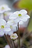 Ashwood NURSERIES: JOHN MASSEYS Collection of Hepaticas - hepatica NOBILIS Var Pyrenaica Ex Apple BLOSSOM