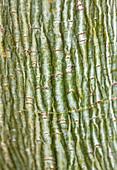 THE NATIONAL TRUST - Dunham MASSEY, CHESHIRE: THE Winter Garden - BARK of Acer DAVIDII GEORGE FOREST - AGM - Snakebark Maple