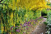 LITTLE Minthurst Farm, Surrey: THE LABURNUM ARCH with ALLIUM Purple Sensation BELOW