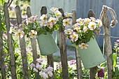Grüne Kannen mit Petunia Sophistica 'Lime Bicolor'
