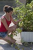 Frau schneidet abgeerntete Ruten von Himbeere (Rubus) zurück