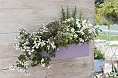 Kunststoffkasten mit Pelargonium peltatum 'Snow Cascade'