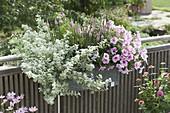 Balkonkasten mit Petunia Famous 'White Rose Vein' (Petunie), Helichrysum