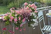 Pelargonium peltatum 'Decora Rosa' 'Snow Cascade' (Haengegeranien